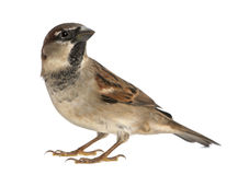 Male House Sparrow. Passer domesticus (5 months old Stock Photos
