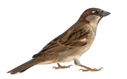 Male House Sparrow. Passer domesticus (5 months old Stock Images