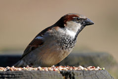 Male House Sparrow. Feeding on seeds Stock Images