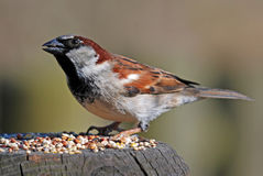 Male House Sparrow. Feeding on seed Royalty Free Stock Image