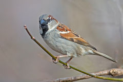 Male House Sparrow. Standing on a branch stock image