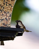 Male House Sparrow. Adult male House Sparrow on a feeder. Native to North America Stock Photos
