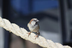 Male House Sparrow. Perched on rope divider at local park Stock Photos