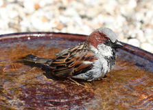 A male House Sparrow bathing Stock Photography