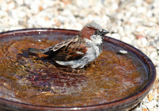 A male House Sparrow bathing Stock Image
