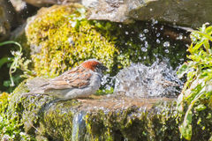 Male house sparrow bathing. Male house sparrow waiting in queue for a bath Stock Image