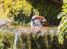 Male house sparrow bathing Stock Images
