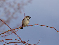 Male House Sparrow Bird on A Branch. Male House Sparrow birds (Passer domesticus) on a branch royalty free stock photography