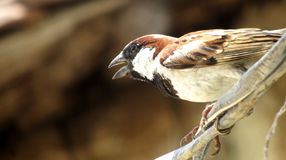 Male house sparrow bird, india Royalty Free Stock Image
