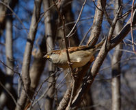 Male House Sparrow Bird Royalty Free Stock Photo