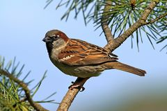 Male House Sparrow Bird Perched On Branch Royalty Free Stock Photography