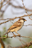 Male House Sparrow bird sitting on a branch. And looking Stock Photography