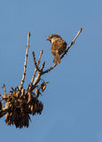 Male House Sparrow on a branch. A male House Sparrow (Passer domesticus) perches on a dry branch Stock Images