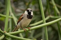 Male house sparrow on branch facing camera Stock Photos