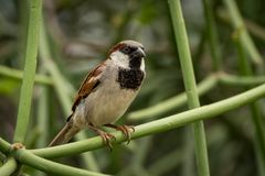 Male house sparrow on branch facing right Stock Image