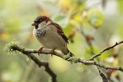 Male house sparrow in breeding plumage. A male house sparrow Passer domesticus perching on a branch, sporting black, white and grey breeding plumage. Nonbreeding Stock Images