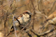 Male house sparrow on a bush. Male house sparrow ( Passer domesticus ) perched on a bush Stock Photography