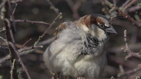 Male House Sparrow Closeup stock footage