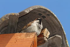 Male house sparrow defending his nest Royalty Free Stock Image