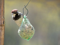 Male house sparrow on fatball. Passer domesticus. Royalty Free Stock Photography