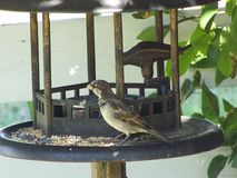 Male house sparrow on the feeder Royalty Free Stock Images