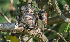 Male house sparrow on a feeder. A male house sparrow perched on a feeder Royalty Free Stock Photo