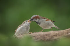 Male house sparrow feeding chick Stock Images
