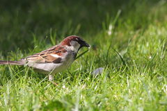 Male house sparrow. On grass ,Passer domesticus Royalty Free Stock Photo
