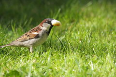Male house sparrow. On grass ,Passer domesticus Stock Photo