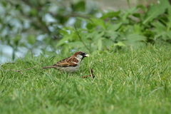 Male house sparrow. On grass ,Passer domesticus Stock Images