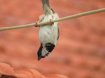 Male House Sparrow hang on wire upside down Royalty Free Stock Photo