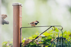 Male house sparrow on hanging peanut feeder in garden. Stock Images