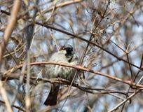 Male House Sparrow keeping warm Stock Photos