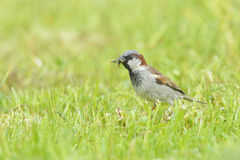 Male house sparrow Stock Photos