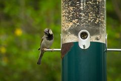 Male House Sparrow. Eating from hanging bird feeder Royalty Free Stock Photo