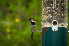 Male House Sparrow. Eating from hanging bird feeder Stock Image
