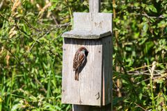 Male House Sparrow. At Reifel Bird Sanctuary, Vancouver BC Canada Royalty Free Stock Photography
