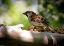 Male House Sparrow. Sits on branch feeding on seeds at bird sanctuary in lower north island Royalty Free Stock Photography