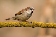 Male House Sparrow On A Stick Royalty Free Stock Photo