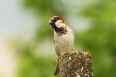Male house sparrow over green background Royalty Free Stock Images