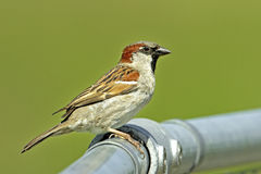 Male House Sparrow (Passer domesticus). A male House Sparrow (Passer domesticus) perching in full view on a metal pipe Stock Image