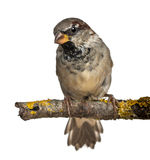 Male House Sparrow, Passer domesticus, 4 months Royalty Free Stock Image