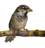 Male House Sparrow, Passer domesticus, 4 months. Old, in front of white background Royalty Free Stock Photography