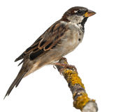 Male House Sparrow, Passer domesticus, 4 months. Old, in front of white background Royalty Free Stock Photos