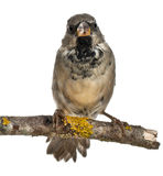 Male House Sparrow, Passer domesticus, 4 months Royalty Free Stock Photo