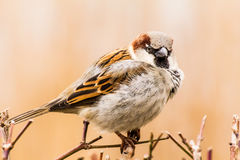 Male house sparrow or Passer domesticus Royalty Free Stock Image