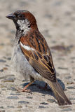 Male house sparrow Passer domesticus. Close up of garden bird. Male house sparrow Passer domesticus. Close up profile of garden bird on concrete path Stock Photos
