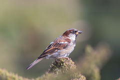 Male house sparrow Passer domesticus countryside wildlife Stock Images