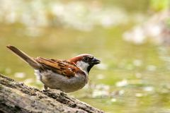 Male House Sparrow Passer domesticus drinking at a bird bath.  Royalty Free Stock Photos