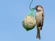Male house sparrow, Passer domesticus, on fatball in garden. Blu Royalty Free Stock Photography